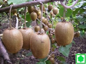 Kiwi for Kiwi pianta