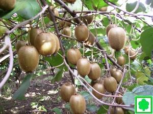 Kiwi meli cachi for Kiwi pianta